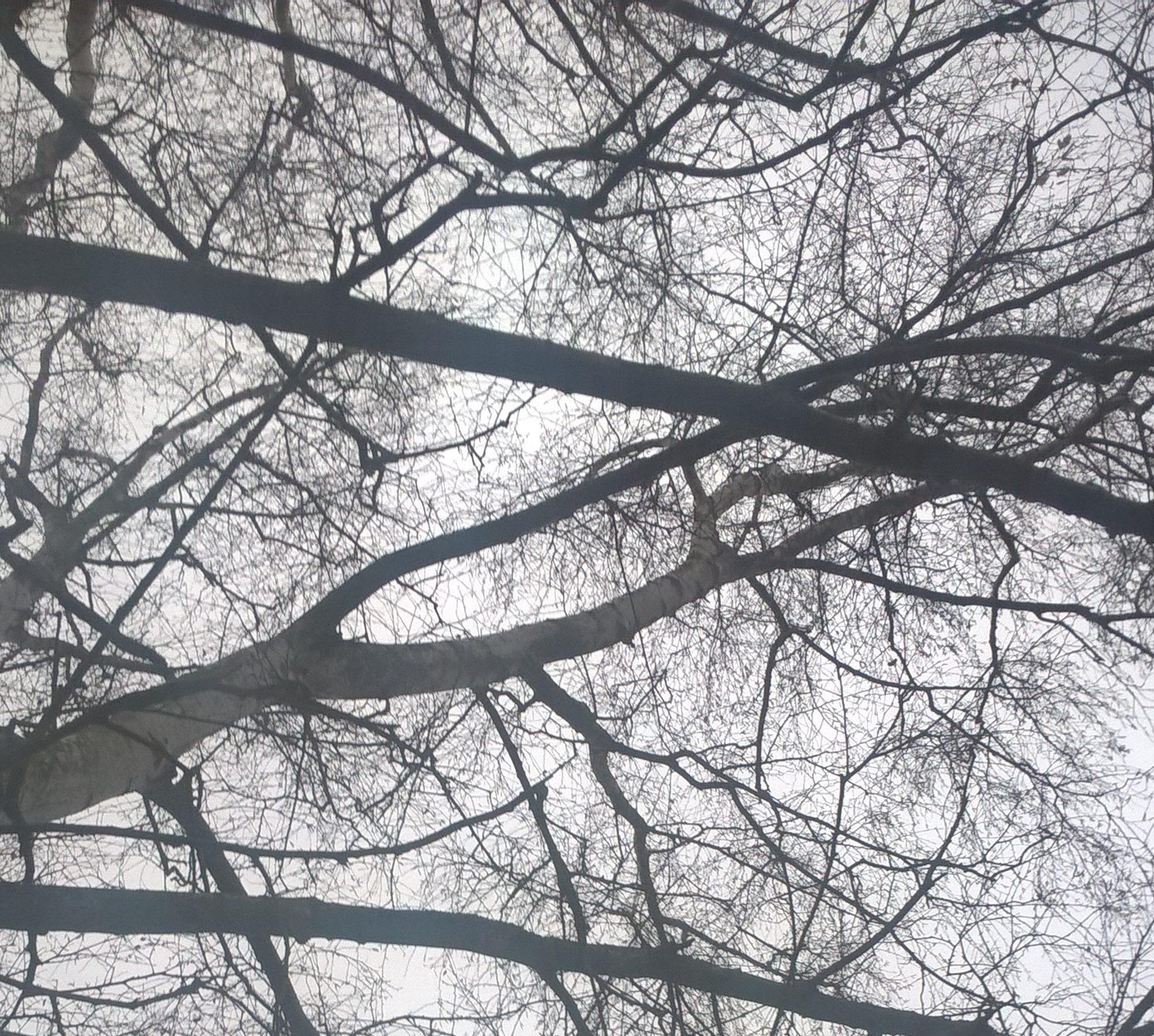 birke-ohne-blaetter