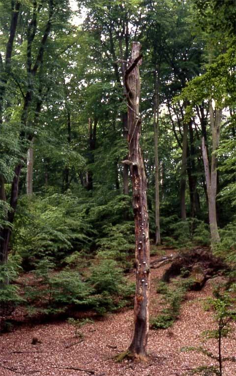 buchenwald-serrahn